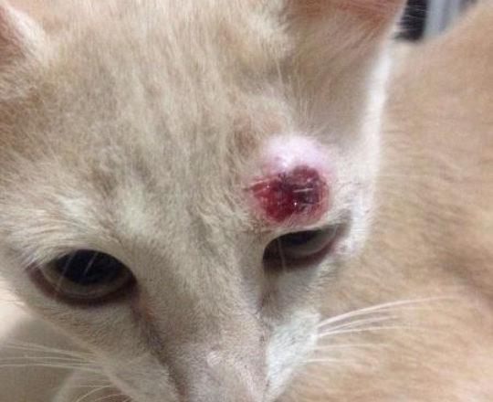 Gatos de Ipatinga têm doença que afeta humanos; entenda a esporotricose