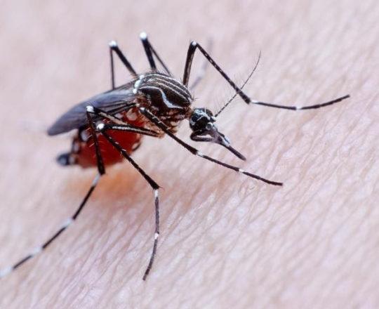 Amido de milho é a nova ferramenta dos cientistas contra mosquito da dengue.